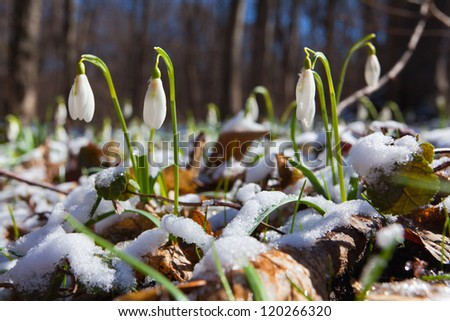 Snowdrops against old leaves and snow in spring wood, a sunny day