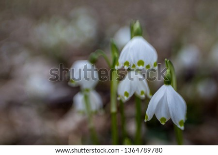 snowdrops dreamy and soft #1364789780