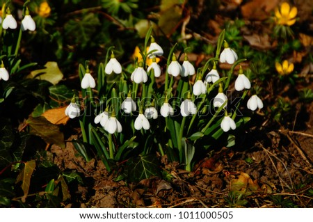 Snowdrops field in forest #1011000505