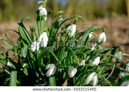 Snowdrops first spring flowers green grass background ez canvas snowdrops first spring flowers green grass background mightylinksfo