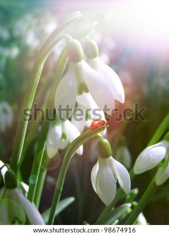 snowdrops flower under the morning sunlight