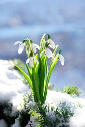 snowdrops flowers in snow. Beautiful spring nature background. early spring season concept.