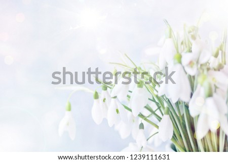 snowdrops spring background. spring flowers for a postcard. primroses