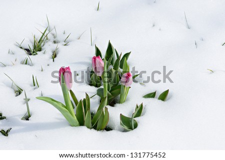 snowdrops tulip flowers in the snow Thaw