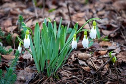 Snowdrops with their small white delicate drooping bell shaped flowers make their appearance at the first sign of spring in the mountainous woodlands of south west Turkey