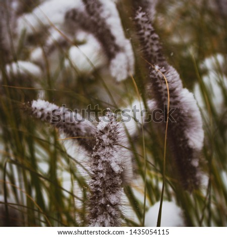 snowfall on cattail. snowfall on plants. plant photography #1435054115