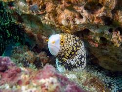 Snowflake Moray Eel (Echidna nebulosa)