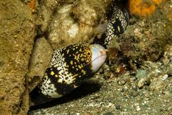 Snowflake moray eel (Echidna nebulosa) in a hole