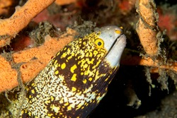 Snowflake moray eel (Echidna nebulosa) Lembeh Strait, Indonesia