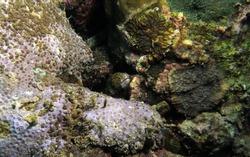 Snowflake moray eel hiding in corals Cebu Philippines