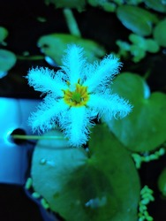Snowflakes Waterlily (Nymphoides spp) is also known as little floating heart.