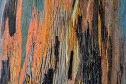 Snowgun (Eucalyptus Pauciflora). Ancient trees of Australian Alpine areas. Stunning bark colors and patterns in autumn.