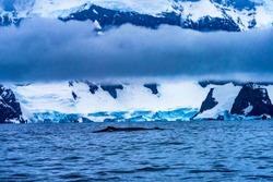 Snowing Humback Baleen Whales Chasing Krill Snow Mountains Glaciers Charlotte Bay Antarctic Peninsula Antarctica