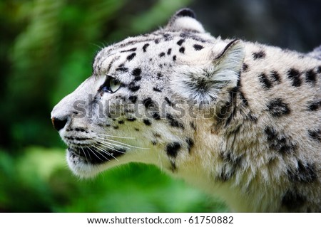 Snow leopard face side - photo#9