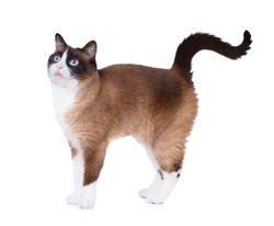 Snowshoe cat standing excited showing cute little piece of tongue out from the mouth,  isolated on white background