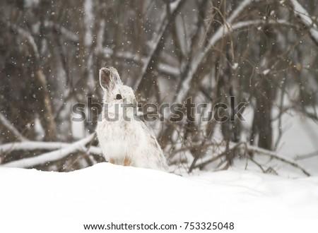 Snowshoe hare (Lepus americanus) in the falling snow #753325048