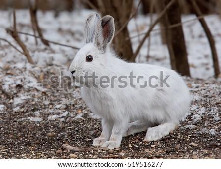 Snowshoe hare (Lepus americanus) in winter #519516277