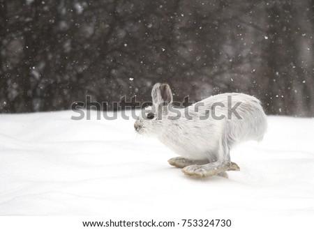 Snowshoe hare (Lepus americanus) running in the falling snow #753324730