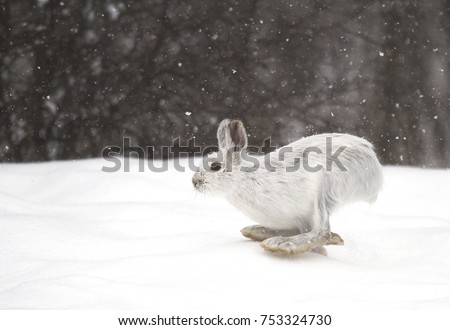 Snowshoe hare or Varying hare (Lepus americanus) running in the falling snow in Canada  #753324730