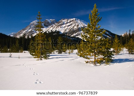 Snowshoe Hare tracks through fresh snow in the mountains, Alberta Canada