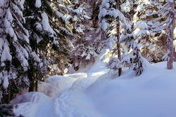 Snowshoe trail in the snowy bright forest of Garibaldi Lake Provincial Park