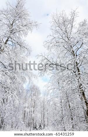 Snowy birch tree forest