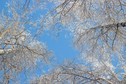 Snowy birch treetops against blue sky. Natural winter background of the crowns trees. Bottom view