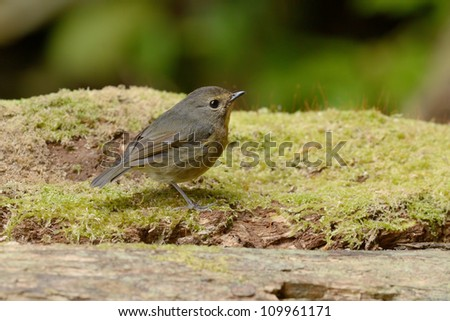 Snowy Brow ed Flycatcher
