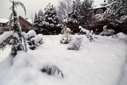 Snowy cottage garden. Cottage backyard  with  snowbanks of white snow and snowy pine trees.Gardening.