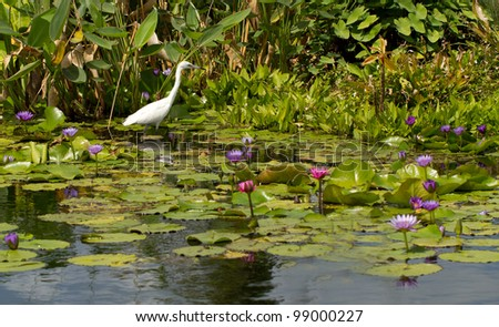 Snowy Egret among the Water Lilies at the botanical gardens in Naples, Florida