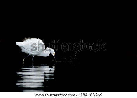 Snowy Egret, Egretta thula, during hunt, heron trying to catch fish, in the nature coast habitat, Mexico. bird silhouette, clear black background, splash of water, action scene on river