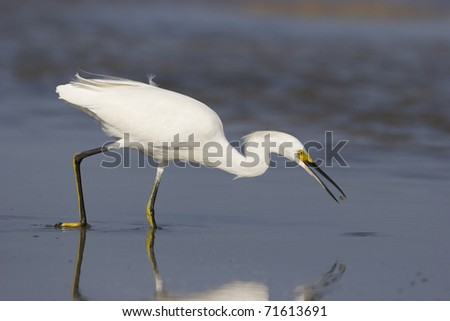 Snowy Egret, Egretta thula, fishing or feeding in shallow blue water with reflection