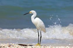 Snowy Egret (Egretta thula) standing on the beach, portrait from site, Sanibe Island, Florida, USA