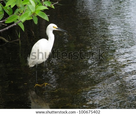 Snowy Egret (Egretta thula) waiting for something to eat in a pond in the Florida Everglades National Park