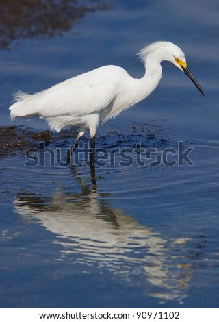 Snowy Egret feeding in blue water