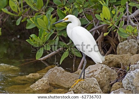 "Snowy Egret fishing on the bank at the J. N. ""Ding"" Darling National Wildlife Refuge on Sanibel Island."