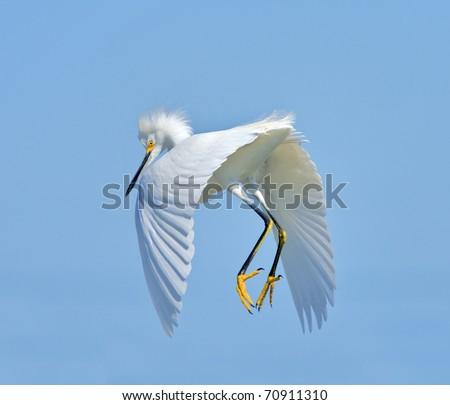 Snowy Egret in flight. Latin name - Egreta tula. Focus on eyes.