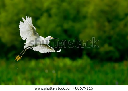 snowy egret in florida wetland, with saturated colors due to rainy day