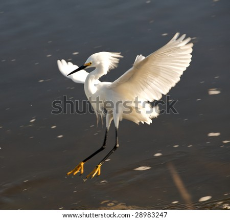 Snowy Egret landing  on water with wings spread at Chincoteague  National Wildlife Refuge, Virginia - stock photo