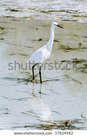 Snowy Egret on Lighthouse Beach area of Sanibel Island, FLorida.