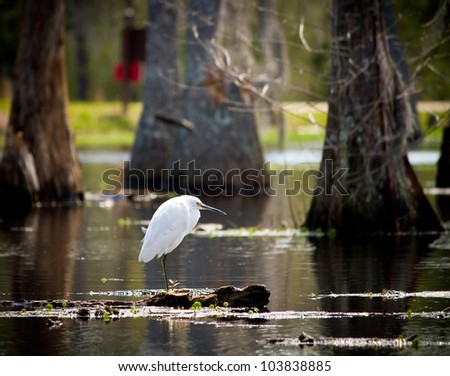 Snowy Egret perched on a cypress knee in Sam Houston Jones State Park; Moss Bluff, Louisiana.
