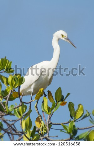 Snowy Egret perched on a mangrove tree