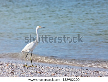 Snowy egret searches for food along a beach on Sanibel Island, Florida.