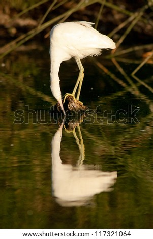 Snowy Egret staring at her own reflection in the water. Patagonia, Argentina, South America