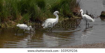 Snowy egrets, egretta thula, fishing in the marshes