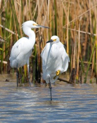 Snowy Egrets in a gulf coast marsh