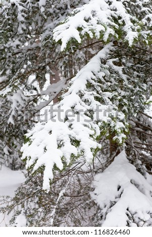 Snowy Fir-tree branches in the woods. Winter vertical shot