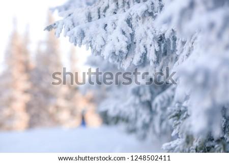 snowy fir trees #1248502411