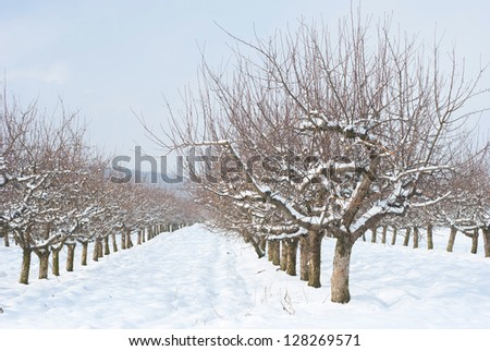 snowy fruit trees, sunshine