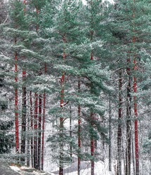 Snowy high pines lined up in a row. Tree wall in frozen winter forest. Green coniferous trees in snow. Tall pine trees with bright brown tree trunks. Snow-covered winter wood. Line of trees. January